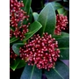 SKIMMIA japonica &#x27;Rubella&#x27; (male) 