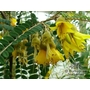 SOPHORA microphylla 'Sun King'