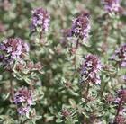 Thymus vulgaris 'Silver Posie' (thyme)