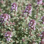 Thymus vulgaris &#x27;Silver Posie&#x27; (thyme)