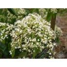VIBURNUM betulifolium