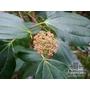 Viburnum cinnamonifolium