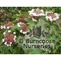 VIBURNUM sargentii 'Onondaga'  