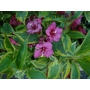 WEIGELA 'Brigela'  