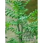XANTHOCERAS sorbifolium