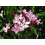 NERIUM oleander  