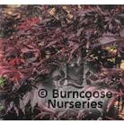 ACER palmatum dissectum 'Burgundy Lace'