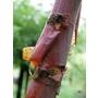 Betula ermanii