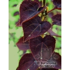 CERCIDIPHYLLUM japonicum 'Red Fox'