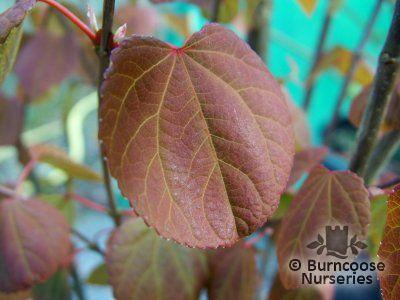 CERCIDIPHYLLUM japonicum 'Strawberry'