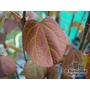 CERCIDIPHYLLUM japonicum 'Strawberry'