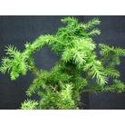 CRYPTOMERIA japonica 'Cristata'