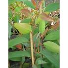 EUCALYPTUS pauciflora subsp. niphophila