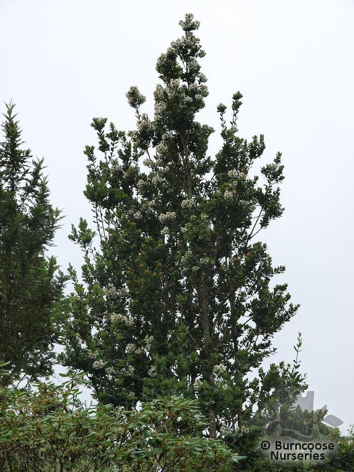 EUCRYPHIA lucida x cordifolia
