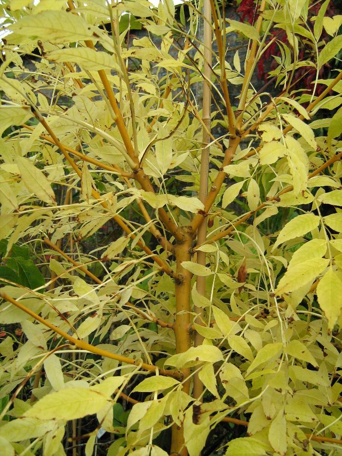 FRAXINUS excelsior 'Jaspidea'