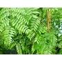 GLEDITSIA triacanthos 'Emerald Cascade'