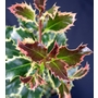 ILEX aquifolium 'Argentea Marginata'