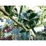 ILEX aquifolium 'Atlas'