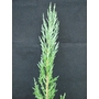 JUNIPERUS virginiana &#x27;Blue Arrow&#x27;  