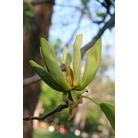 MAGNOLIA acuminata