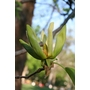 MAGNOLIA acuminata  