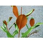 MAGNOLIA grandiflora 'D.D Blanchard'