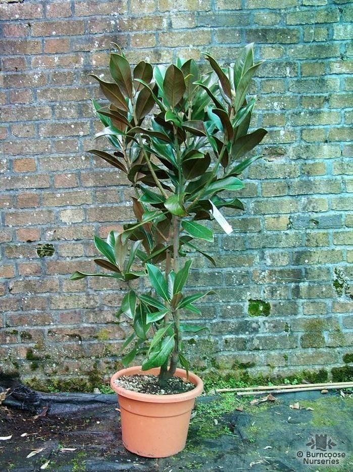 MAGNOLIA grandiflora 'Gallissonniere'