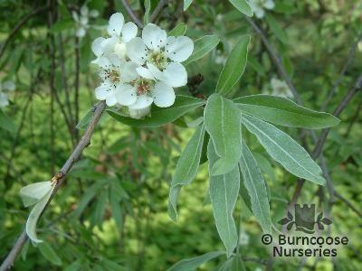 PYRUS salicifolia 'Pendula'