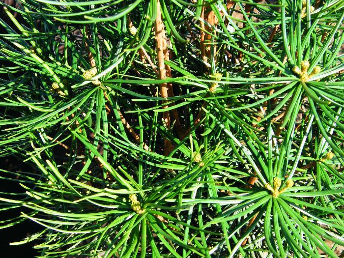 SCIADOPITYS verticillata
