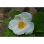 Stewartia