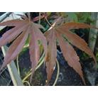 ACER palmatum 'Moonfire'