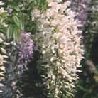 Wisteria sinensis 'Alba' (Chinese wisteria)