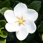 Gardenia jasminoides 'Kleim's Hardy' (gardenia)