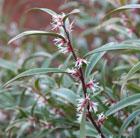 Sarcococca hookeriana var. digyna  'Purple Stem' (sweet box)