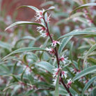 Sarcococca hookeriana var. digyna  'Purple Stem' (sweet box)