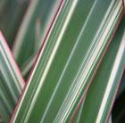 Phormium cookianum subsp hookeri 'Tricolor' (New Zealand flax)