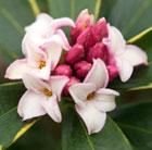 Daphne odora 'Aureomarginata' (daphne)