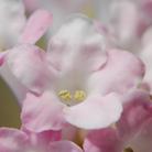Viburnum x  bodnantense 'Charles Lamont' (viburnum)