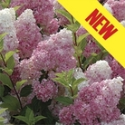 Hydrangea Vanilla Fraise 1 Plant 9cm Pot