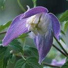 Clematis alpina 'Frances Rivis' (alpine clematis (group 1))