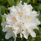 Rhododendron 'Cunningham's White' (hybrid rhododendron)