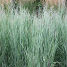 Panicum virgatum 'Heavy Metal' (switch grass)