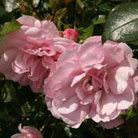 Rosa Bonica ('Meidomonac') (PBR) (rose Bonica (shrub))
