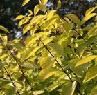 Cornus alba 'Aurea' (red barked dogwood)