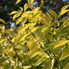 Cornus alba 'Aurea' (red barked dogwood)