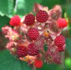 Japanese wineberry (Japanese wineberry)