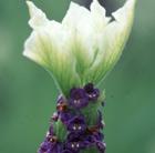 Lavandula 'Tiara' (French lavender)