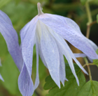 Clematis macropetala 'Wesselton' (clematis (group 1))