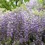 Wisteria x formosa (wisteria)