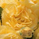 Rosa Absolutely Fabulous ('Wekyossutono') (PBR) (rose Absolutely Fabulous (floribunda))